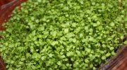 Как микрозелень снова стала трендом в правильном питании