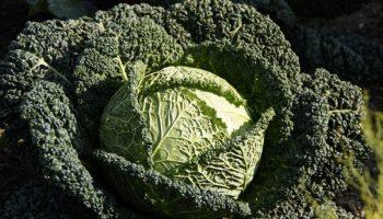 5 причин добавить в рацион савойскую капусту прямо сегодня
