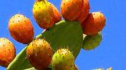 5 кактусов, плоды которых можно и нужно есть