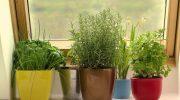 10 пряных трав, которые любой может вырастить у себя на подоконнике