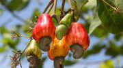 5 причин по которым орехи кешью скорее вредны, чем полезны