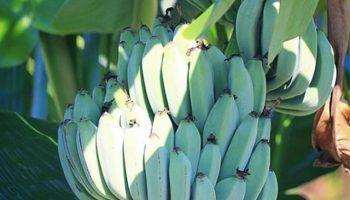 Какой банан на вкус не отличить от мороженого