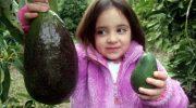 Где выращивают авокадо размером с дыню