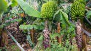 5 признаков того, что банановое дерево на самом деле гигантская трава