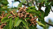 Где растет конфетное дерево и чем оно примечательно