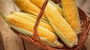 Почему в кукурузном початке всегда четное количество рядов