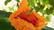 Где растет «бешеная» дыня и за что ее так прозвали