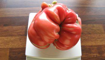 Сколько весил самый тяжелый помидор, выращенный когда-либо