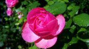 Какие фрукты и овощи являются «родственниками» садовым розам