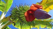 Почему цветки банана абсолютно стерильны