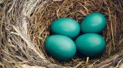 Какие куры несут зеленые яйца