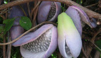 Японская Акебия: как один плод может быть и фруктом, и овощем одновременно