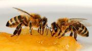 Где умеют готовить мед без участия пчел