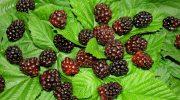 Бойзен берри: почему эту ягоду называют 3 в 1