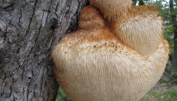 Чем примечателен гриб «Львиная грива» кроме необычного внешнего вида