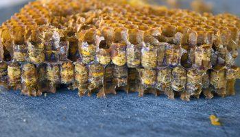 Что такое «пчелиный хлеб» и чем он полезен для людей