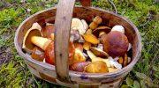 5 съедобных грибов, которые имеют ядовитых двойников